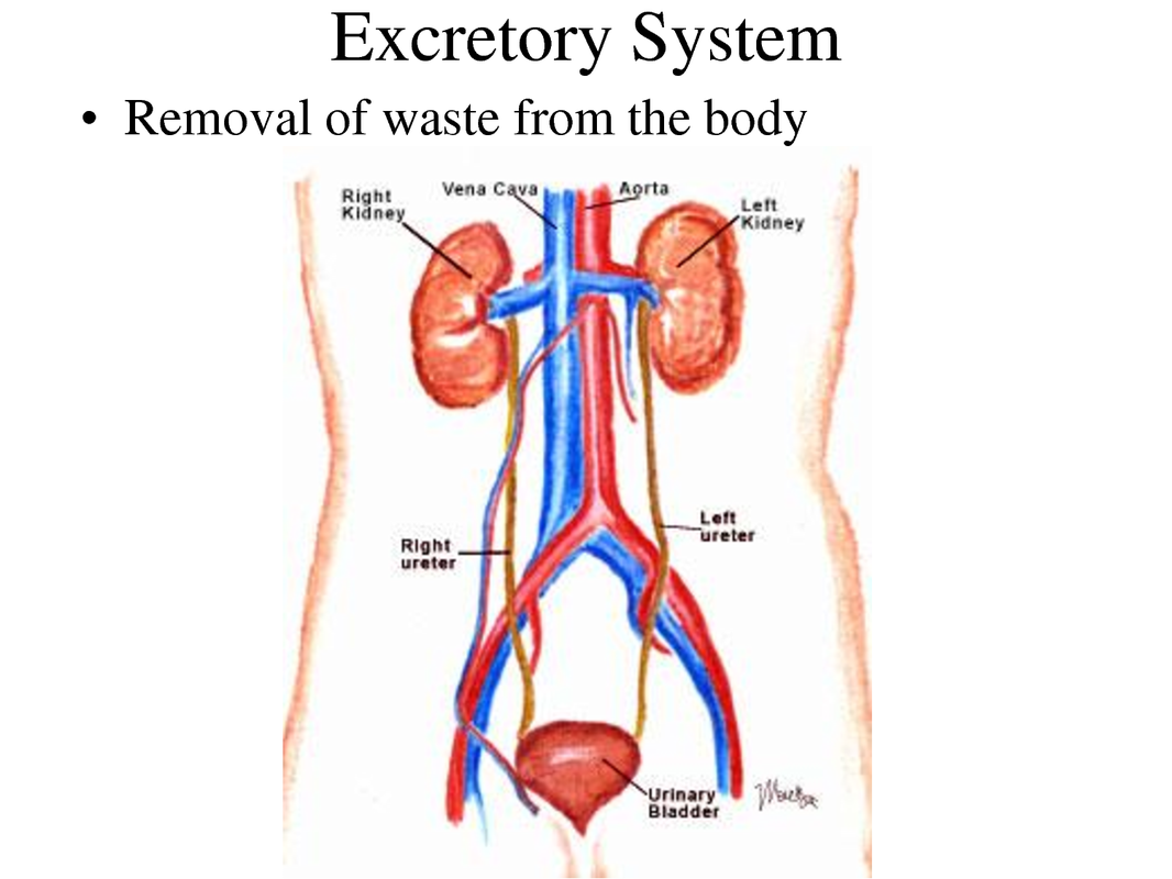 THE Excretory System Period 1 - Home